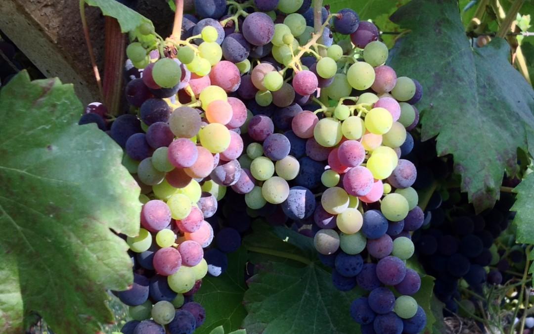 La viña y el verano