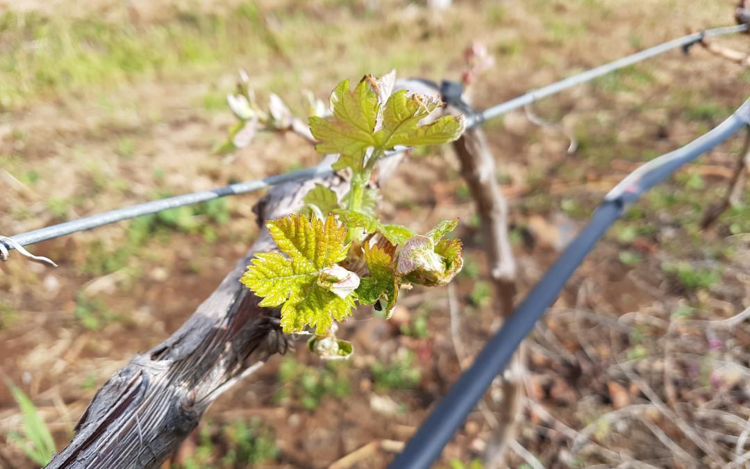 Los cuidados de la viña durante la primavera