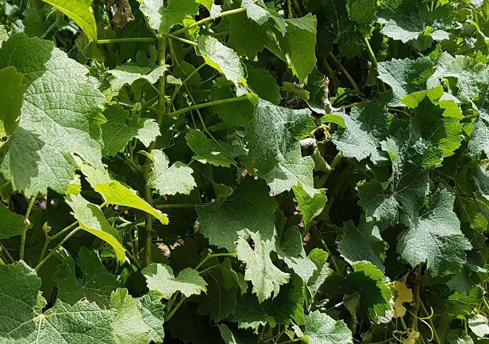 La importancia del verano para nuestra viña