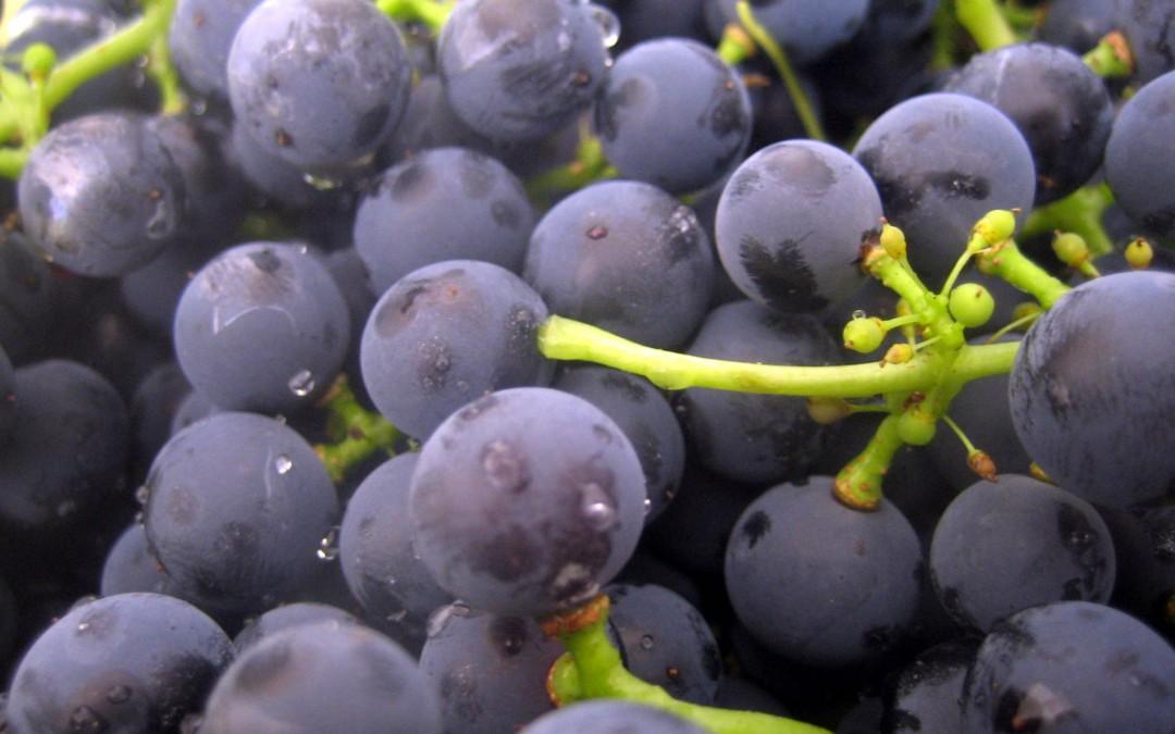 Las levaduras y su importancia para el vino