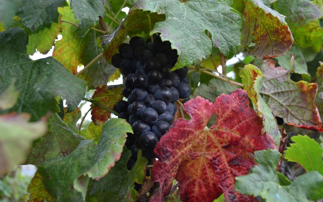 La vendimia. Por fin llega la recogida de uva