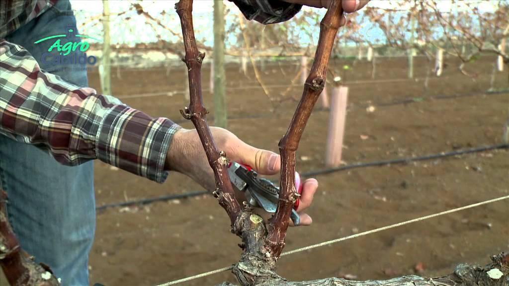 Un poco de enología: la poda de la viña
