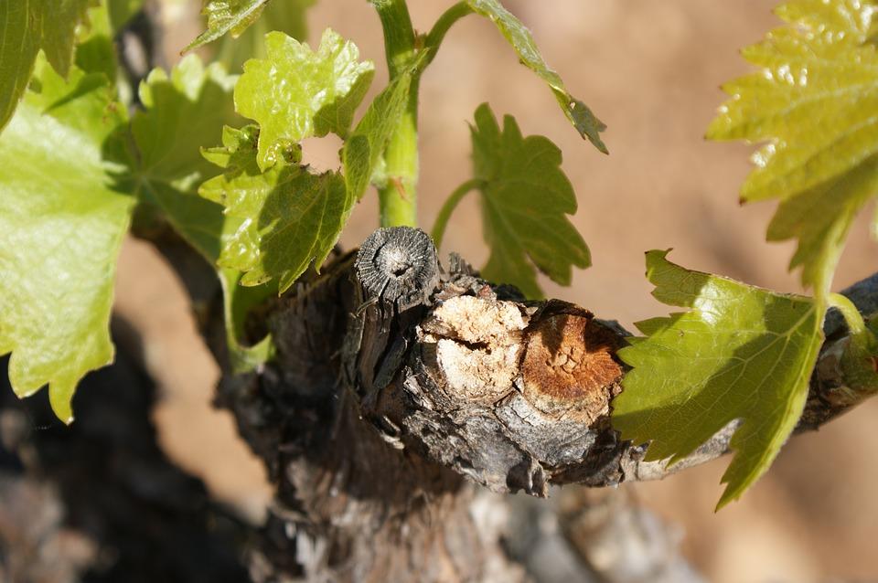 Llega la época de la poda de la viña