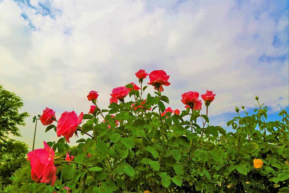 ¿Por qué se cultivan rosales en las viñas?