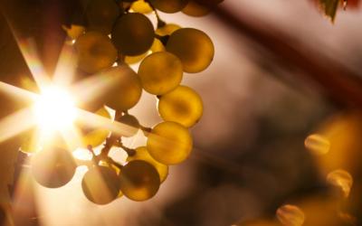 Temporada de vinos en Canarias
